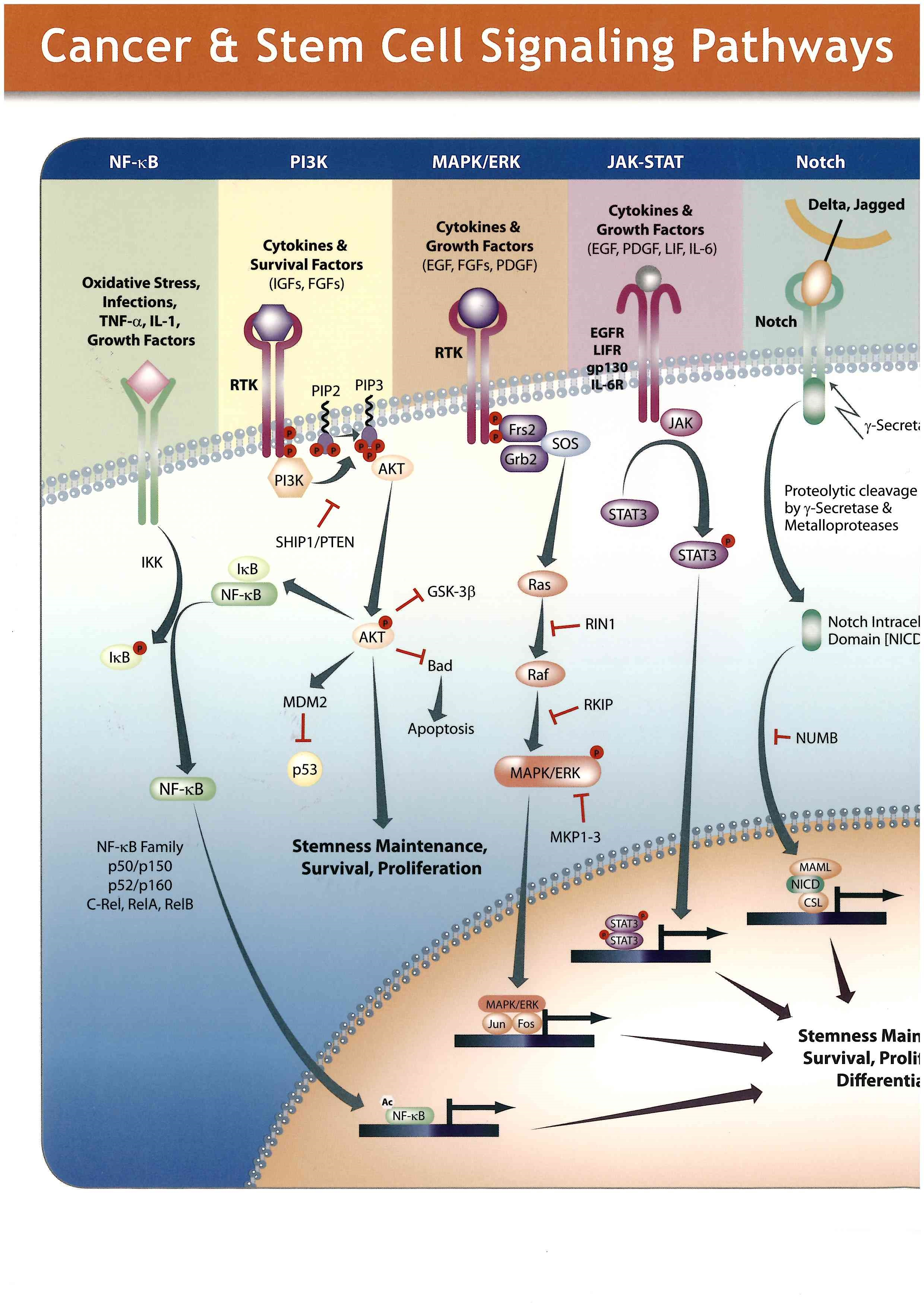 Cancer & Stem Cell Signaling Pathways(ポスター)( KOM : Adipogen Life Sciences/#6123)