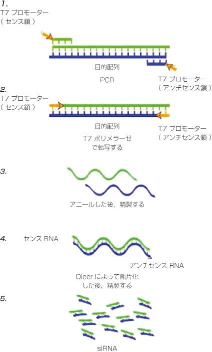遺伝子発現を効率的に抑制(ノックダウン)できるsiRNAの混合物を作製 ...