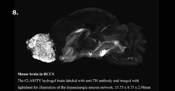 Mouse brain in RCCS