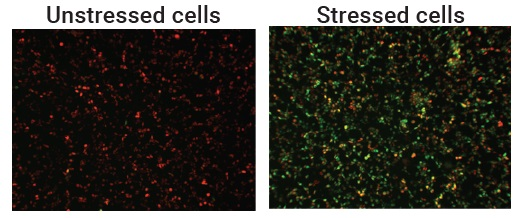 Stressed cells