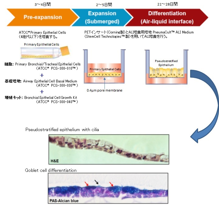Primary Epithelial Cellを用いたALI培養の概略