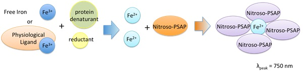 Assay Principle of Nitroso-PSAP method Iron Assay kit LS