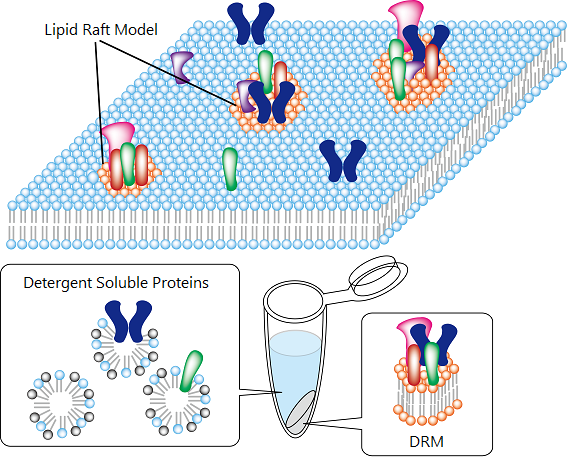 Lipid raft and Detergent Resistant Membrane (DRM)