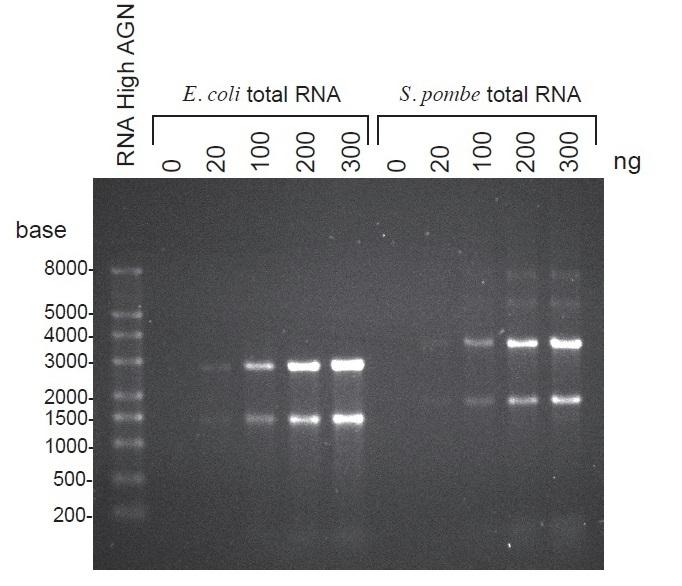 非変性アガロースゲルでのRNA電...