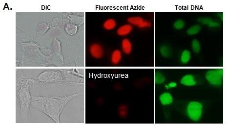 eduにより細胞増殖および周期を検出するキット ezclick edu cell