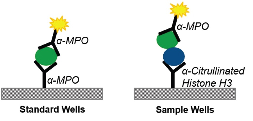 Neutrophil Extracellular Trap (MPO-Histone) ELISA Kitで使用する抗体