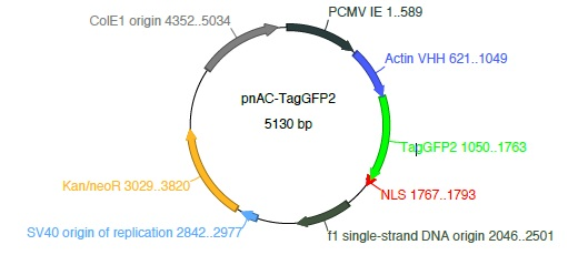Actin Chromobody-TagGFP2 plasmid