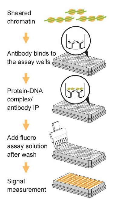 Pre-Sure ChIP Antibody Validation Kit操作方法概略