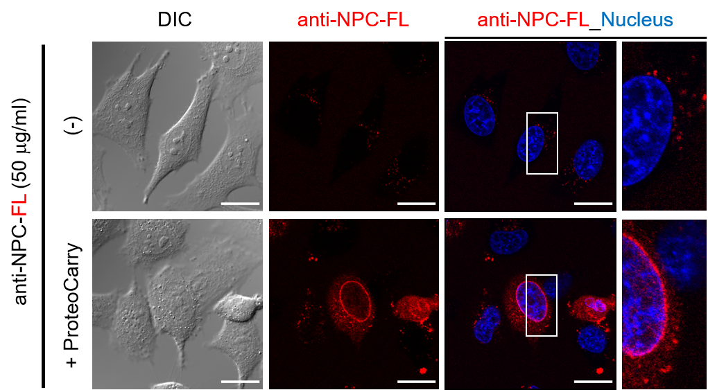 Transfection of fluorophore-conjugated anti-nucleus pore complex (NPC)