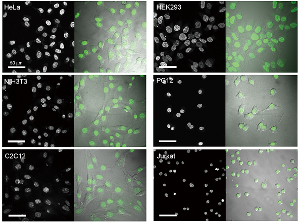 Fig.1 Staining of nucleus in various cultured cells