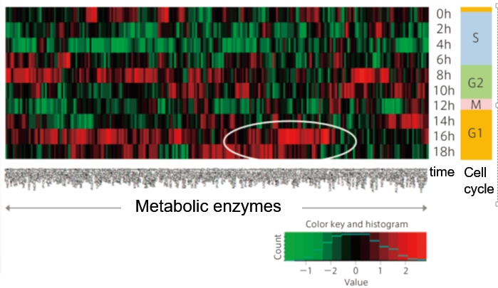 Example #2:  Profiles of Human Metabolic Enzymes among Cell Cycles