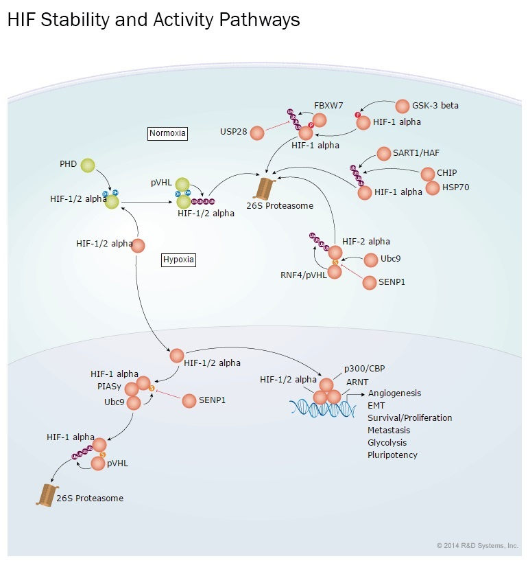 RSD社のHIF Transcription Factor Stability and Activity