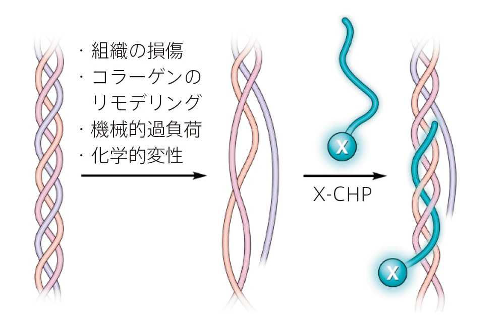 CHP(Collagen Hybridizing Peptide)の検出原理