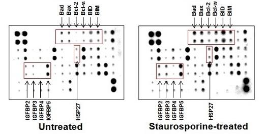 ヒトアポトーシスマーカー測定用抗体アレイ            Human Apoptosis Antibody/Signaling Pathway Arrays, C-Series