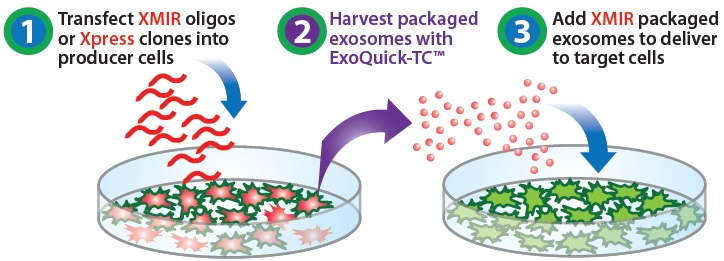 Exosome(エクソソーム,エキソソーム)特集 XMIR Exosome miRNA Packaging Systemt