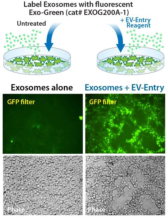 Exosome(エクソソーム,エキソソーム)特集 EV-Entry System for Exosome Delivery