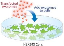 Exosome(エクソソーム,エキソソーム)特集 Exo-Fect Exosome Transfection Reagent