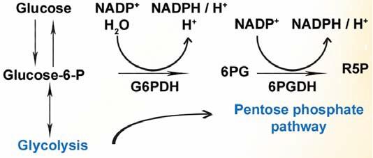 グルコース-6-リン酸デヒドロゲナーゼ