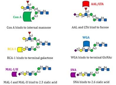 100種類のN-Glycan(N結合型糖鎖...