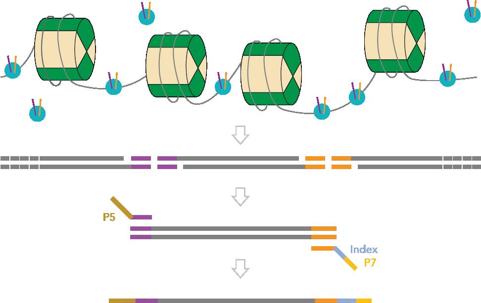 オープンクロマチン領域のNGS解析による遺伝子スイッチ解析   ATAC-seq ...