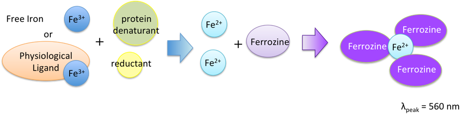 Assay Principle of Ferrozine method Iron Assay kit LS